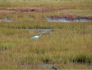 Great egret within tidal wetlands