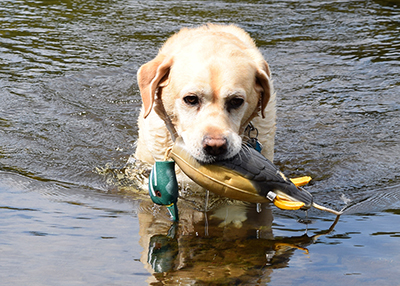 Labrador retriever with a decoy.