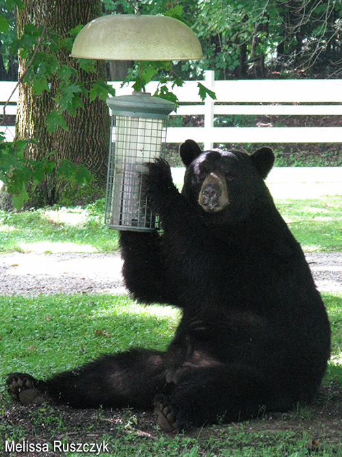 Black Bear with Feeder