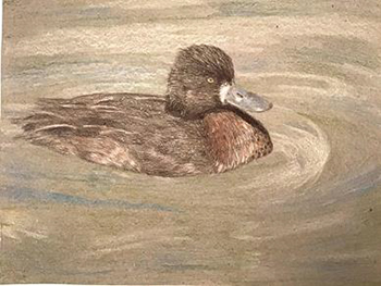 Painting of a bluebill that won first place for 4th to 6th graders in the 2021 Junior Duck Stamp Competition.