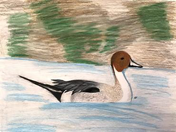 Painting of a pintail that won first place for 7th to 9th graders in the 2021 Junior Duck Stamp Competition.