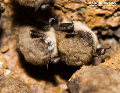Little brown bats with white-nose syndrome hibernating in a Connecticut mine.