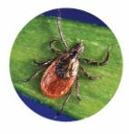 Black-legged (Deer) Tick