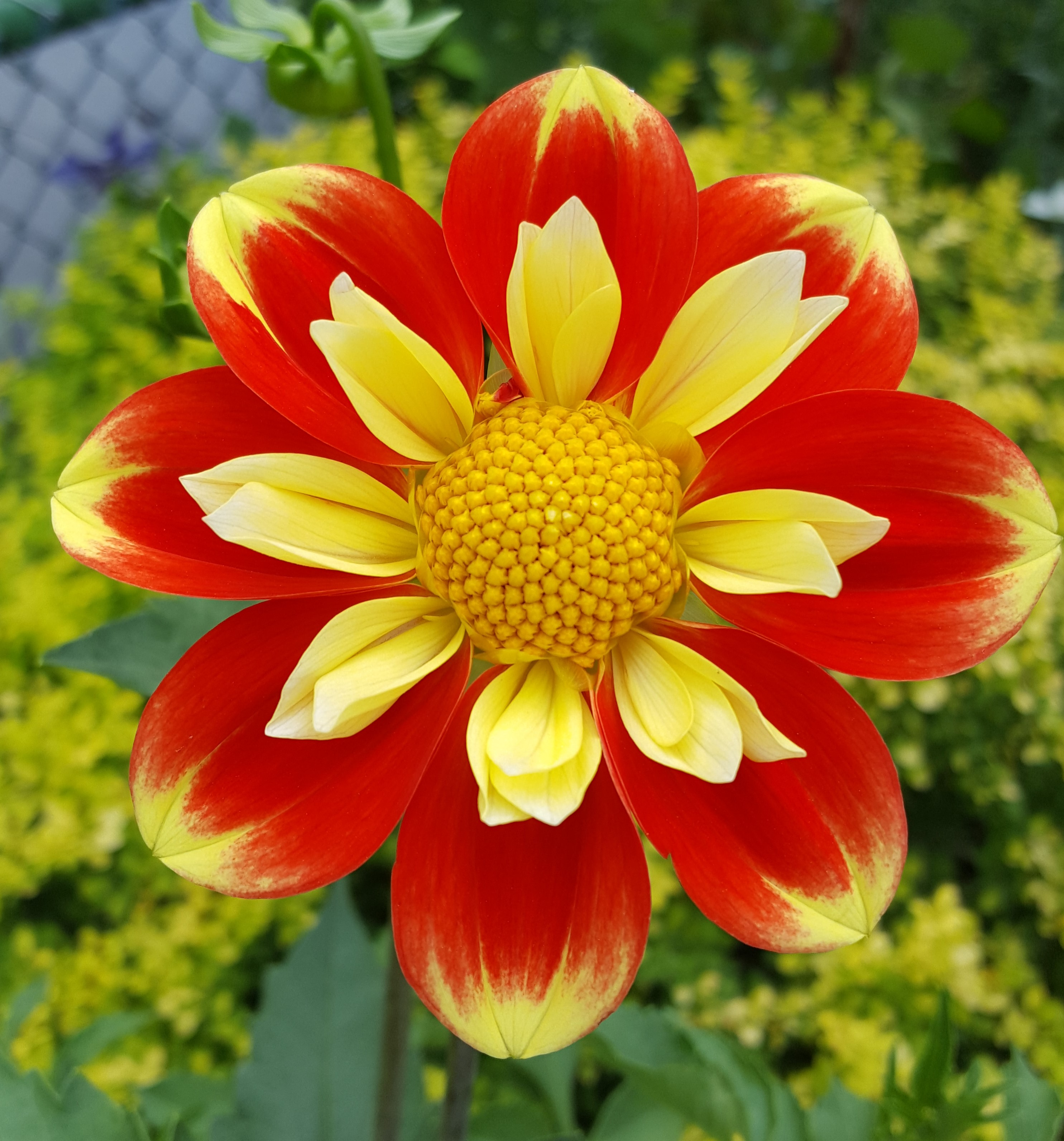 Red and yellow flower