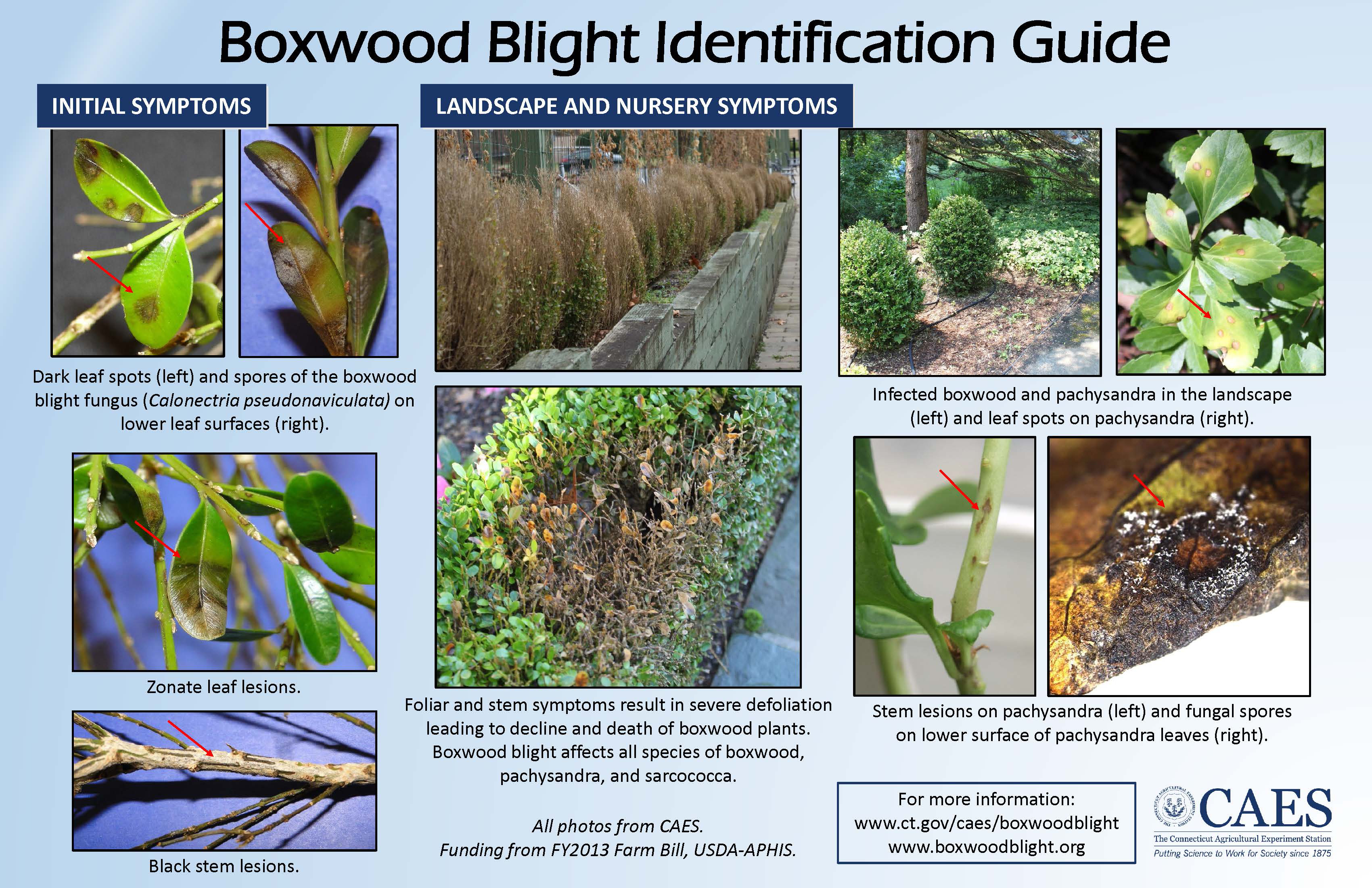 Boxwood Blight Poster