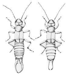 Picture of European Earwig