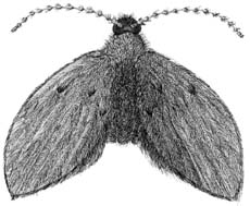 Picture of Moth Flies