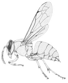Picture of Yellowjacket
