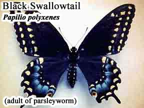 Picture of Black Swallowtail