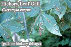 Picture of Hickory Leaf Gall