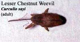 Picture of Lesser Chestnut Weevil
