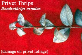 Picture of Privet Thrips