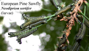 Picture of European Pine Sawfly