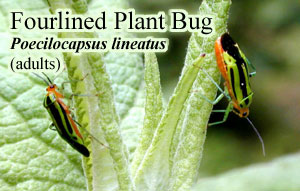 Picture of Fourlined Plant Bug
