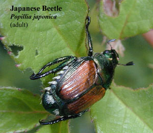 picture of adult japanese beetle Popillia japonica