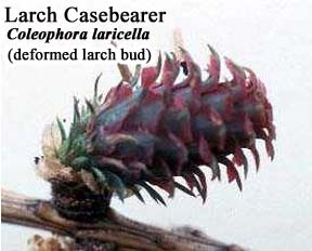 Picture of Larch Casebearer