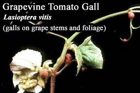 Picture of Grapevine Tomato Gall