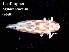 Picture of Leafhopper