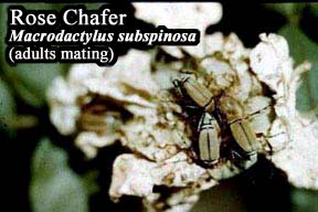 Picture of Rose chafer