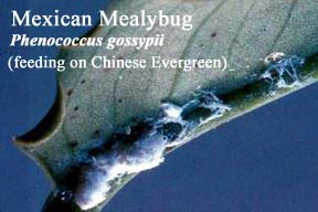 Picture of Mexican Mealybug