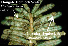 Picture of Elongate Hemlock Scale and Circular Hemlock Scale