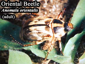 Picture of Oriental Beetle