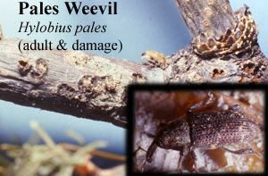 Picture Pales Weevil