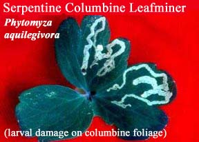 Picture of Serpentine Columbine Leafminer