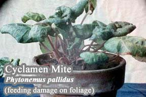 Picture of Cyclamen Mite