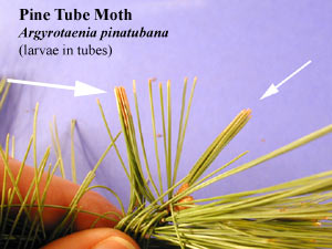 Picture of Pine Tube Moth