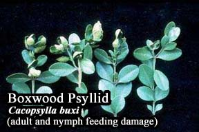 Picture of Boxwood psyllids