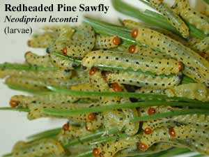 Picture of Redheaded Pine Sawfly