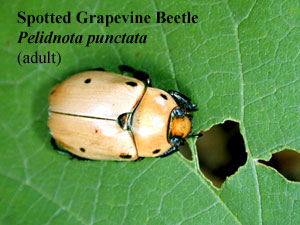 Picture of Spotted Grapevine Beetle