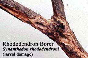Picture of Rhododendron Borer