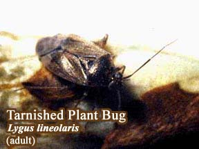 Picture of Tarnished Plant Bug