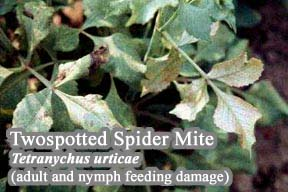 Picture of Twospotted spider mite