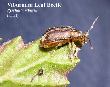picture of viburnum leaf beetle adult pyrrhalta viburni