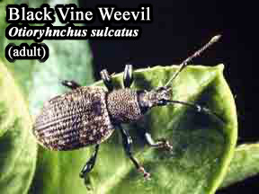 Picture of Black vine weevil