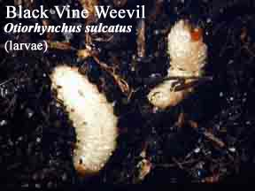 Picture of Black Vine Weevil Larvae