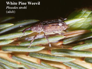 Picture of White Pine Weevil