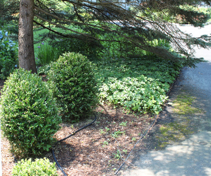 Boxwood Blight on Pachysandra