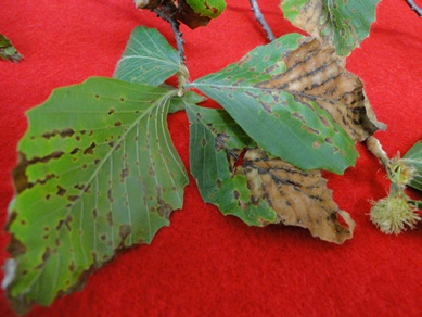 Beech Anthracnose