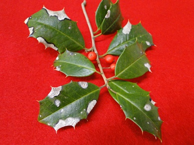 Holly Phyllosticta Leaf Spot