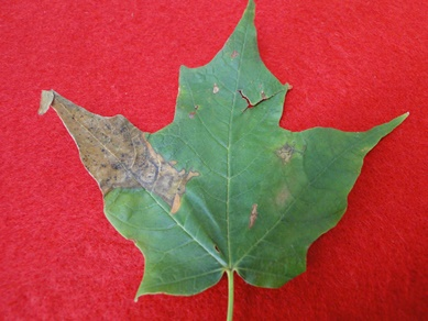 Maple Anthracnose