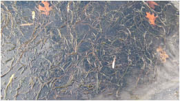 Milfoil which is an invasive plant.