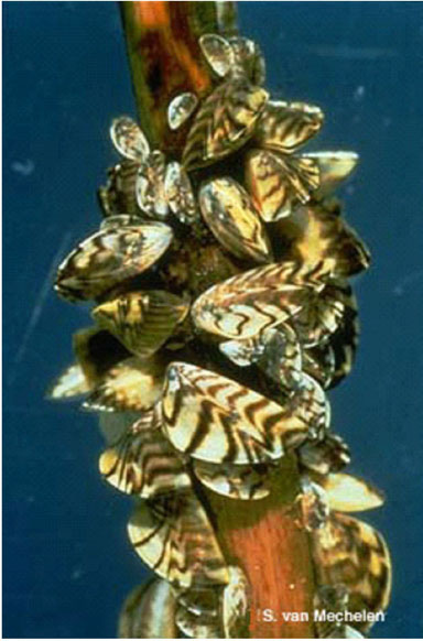 An image of zebra mussels.