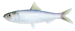 Blueback Herring fish image