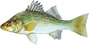 White Perch Image