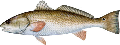 Red Drum Image