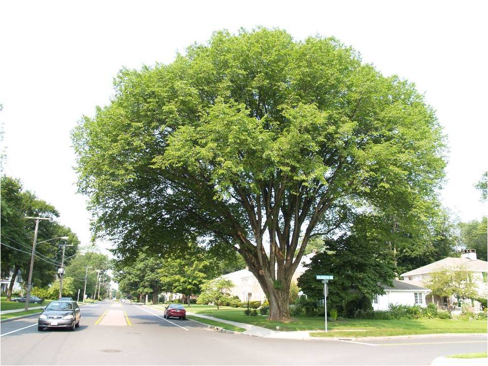 Elm in West Hartford